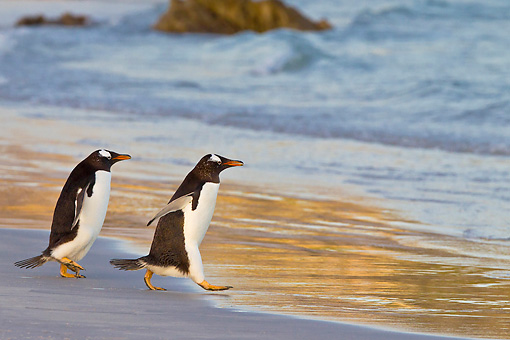 BRD 05 KH0286 01 © Kimball Stock Two Gentoo Penguins Entering Sea At Sunset In Falkland Islands
