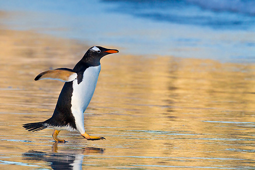 BRD 05 KH0287 01 © Kimball Stock Gentoo Penguin Walking On Beach At Sunset In Falkland Islands