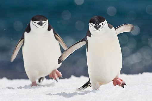 BRD 05 KH0288 01 © Kimball Stock Two Chinstrap Penguins Climbing To Rookery On Seabed Antarctica