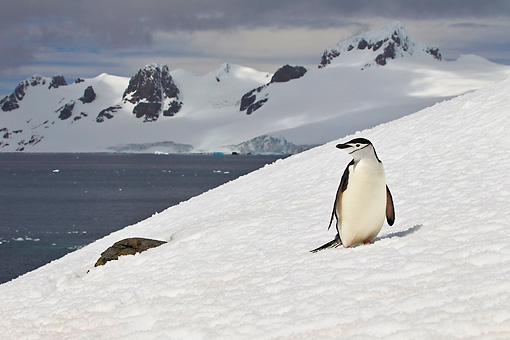 BRD 05 KH0291 01 © Kimball Stock Chinstrap Penguin Standing On Snowy Hill Antarctica