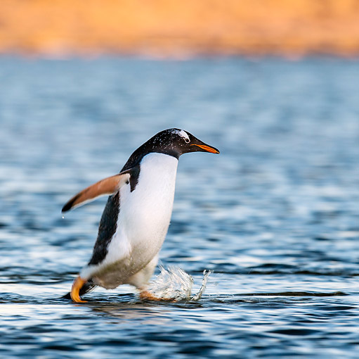 BRD 05 KH0295 01 © Kimball Stock Gentoo Penguin Crossing Lagoon In Falkland Islands