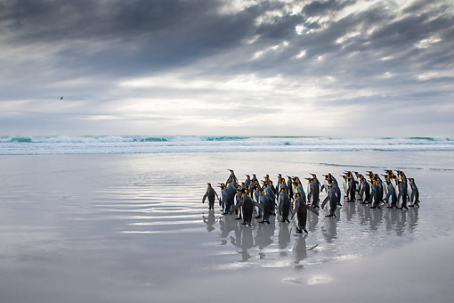 BRD 05 KH0298 01 © Kimball Stock Group Of King Penguins Walking On Beach Falkland Islands