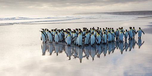 BRD 05 KH0301 01 © Kimball Stock Group Of King Penguins Walking On Beach Falkland Islands