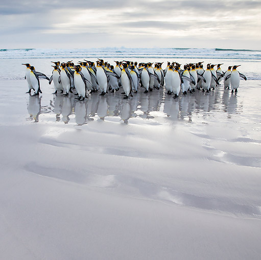 BRD 05 KH0304 01 © Kimball Stock Group Of King Penguins Walking On Beach Falkland Islands