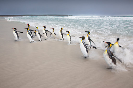 BRD 05 KH0309 01 © Kimball Stock Group Of King Penguins Emerging From Ocean Falkland Islands