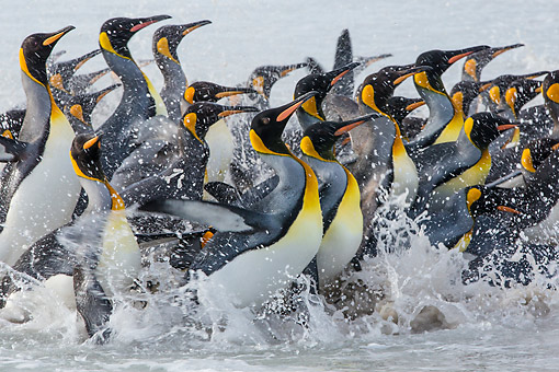 BRD 05 KH0310 01 © Kimball Stock Close-Up Of King Penguins Emerging From Ocean Falkland Islands