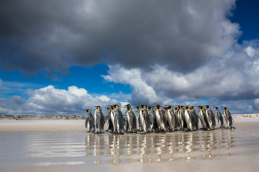 BRD 05 KH0314 01 © Kimball Stock Group Of King Penguins Walking On Beach Under Cumulus Clouds Falkland Islands