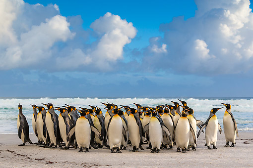 BRD 05 KH0315 01 © Kimball Stock Group Of King Penguins Standing On Beach Under Cumulus Clouds Falkland Islands