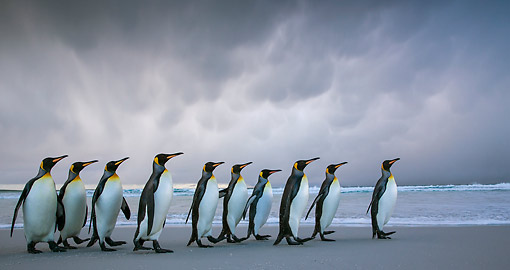BRD 05 KH0316 01 © Kimball Stock Group Of King Penguins Walking On Beach In Storm Falkland Islands