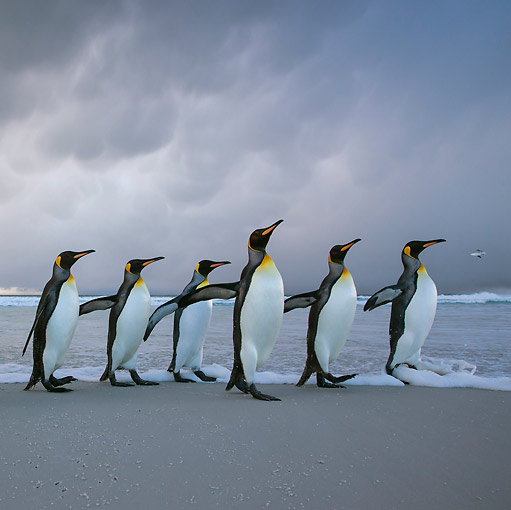 BRD 05 KH0317 01 © Kimball Stock Six King Penguins Walking On Beach In Storm Falkland Islands
