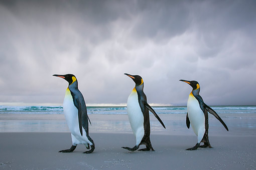 BRD 05 KH0318 01 © Kimball Stock Three King Penguins Walking On Beach In Storm Falkland Islands