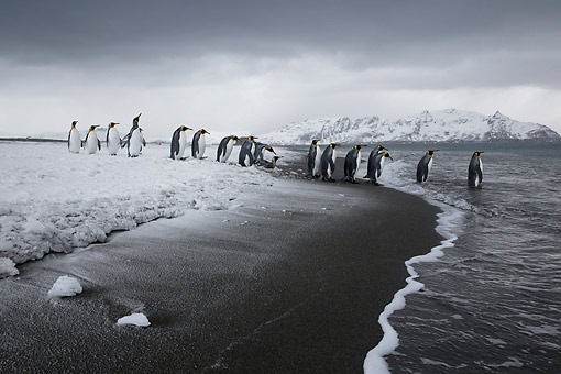 BRD 05 KH0319 01 © Kimball Stock Group Of King Penguins Entering Sea After Snowstorm South Georgia, Antarctica