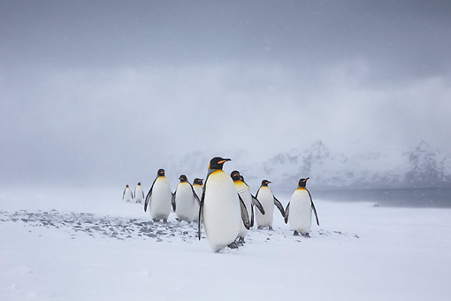 BRD 05 KH0321 01 © Kimball Stock Group Of King Penguins Walking On Beach In Blizzard South Georgia, Antarctica