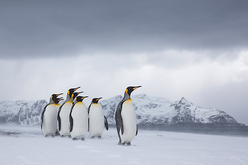 BRD 05 KH0322 01 © Kimball Stock Group Of King Penguins Walking On Beach In Snowstorm South Georgia, Antarctica