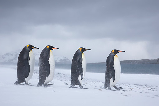 BRD 05 KH0323 01 © Kimball Stock Four King Penguins Walking On Beach In Snowstorm South Georgia, Antarctica