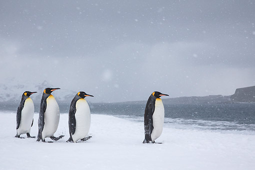 BRD 05 KH0324 01 © Kimball Stock Four King Penguins Walking On Beach In Snowstorm South Georgia, Antarctica