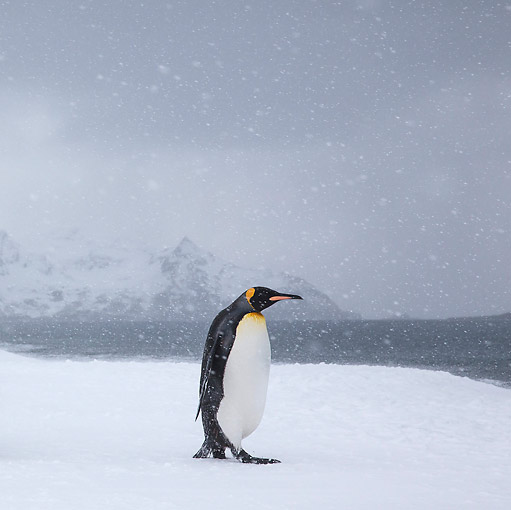 BRD 05 KH0325 01 © Kimball Stock King Penguin Walking On Beach In Snowstorm South Georgia, Antarctica