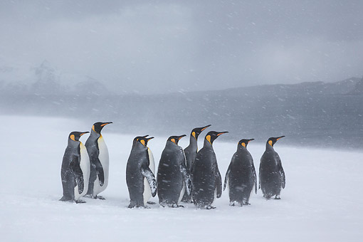 BRD 05 KH0326 01 © Kimball Stock Group Of King Penguins Walking On Beach In Snowstorm South Georgia, Antarctica