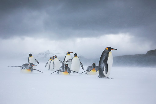 BRD 05 KH0327 01 © Kimball Stock Group Of King Penguins Walking And Sliding On Beach In Snowstorm South Georgia, Antarctica
