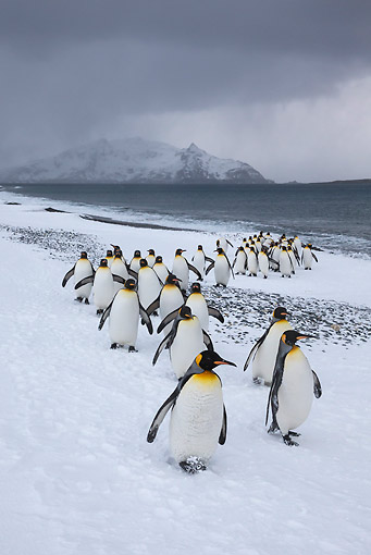 BRD 05 KH0328 01 © Kimball Stock Group Of King Penguins Emerging From Ocean After Fishing South Georgia, Antarctica