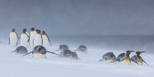 BRD 05 KH0329 01 © Kimball Stock Group Of King Penguins In Snowstorm South Georgia, Antarctica