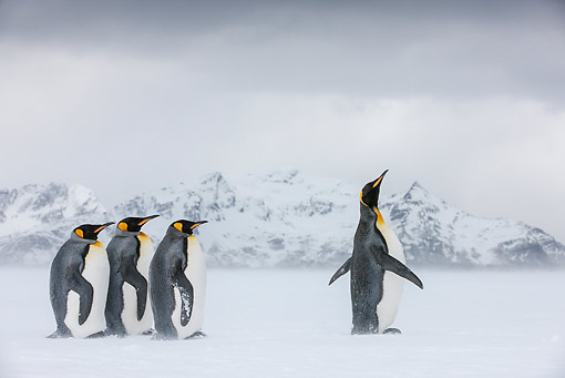 BRD 05 KH0330 01 © Kimball Stock Four King Penguins Standing On Snowy Beach South Georgia, Antarctica