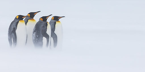 BRD 05 KH0331 01 © Kimball Stock Four King Penguins Standing In Snowstorm South Georgia, Antarctica