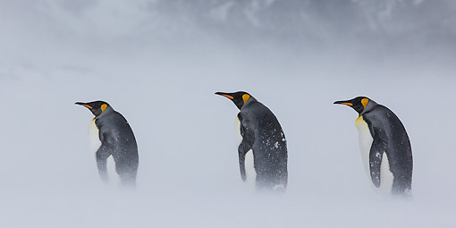 BRD 05 KH0332 01 © Kimball Stock Three King Penguins Walking Through Snowstorm South Georgia, Antarctica