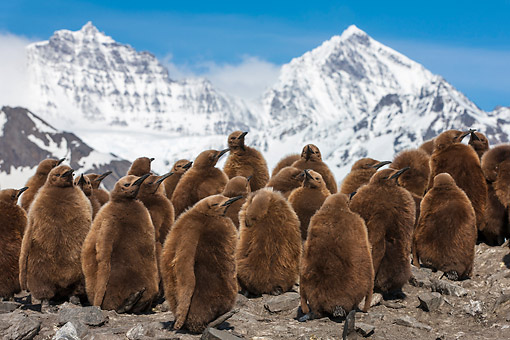 BRD 05 KH0338 01 © Kimball Stock Colony Of King Penguin Chicks By Mountains At Bay Of St. Andrew, Antarctica