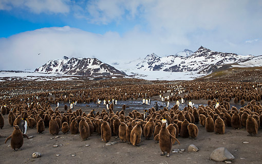 BRD 05 KH0339 01 © Kimball Stock Colony Of King Penguin Chicks By Mountains At Bay Of St. Andrew, Antarctica