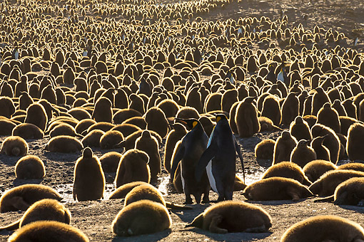BRD 05 KH0343 01 © Kimball Stock Colony Of King Penguin Chicks At Sunset At Bay Of St. Andrew, Antarctica
