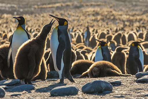 BRD 05 KH0344 01 © Kimball Stock King Penguin Chick Begging For Food From Adult In Colony At Sunset At Bay Of St. Andrew, Antarctica