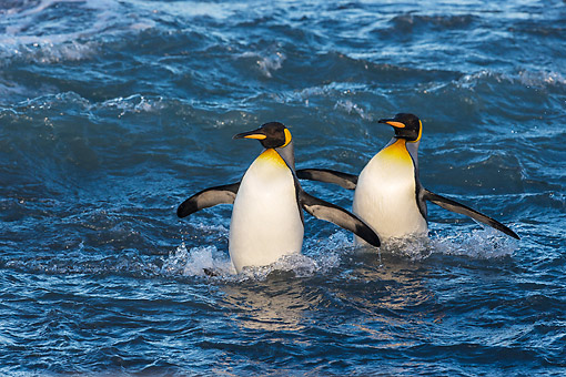 BRD 05 KH0346 01 © Kimball Stock Two King Penguins Walking Through Inlet South Georgia, Antarctica