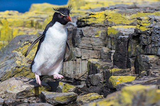 BRD 05 KH0347 01 © Kimball Stock Rockhopper Penguin Jumping Off Cliff Covered With Lichen Falkland Islands