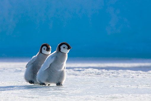 BRD 05 KH0354 01 © Kimball Stock Two Emperor Penguin Chicks Walking On Ice Antarctica