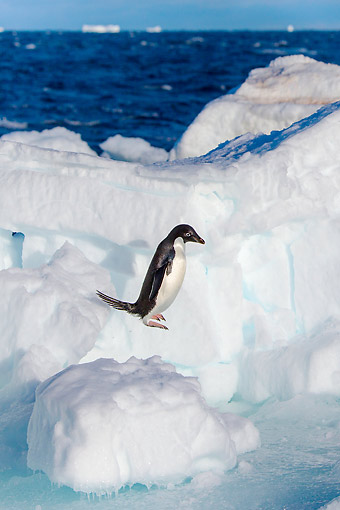 BRD 05 KH0360 01 © Kimball Stock Adelie Penguin Jumping On Iceberg In Antarctica