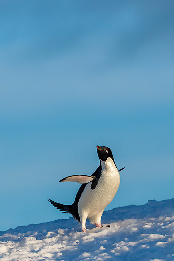 BRD 05 KH0361 01 © Kimball Stock Adelie Penguin Walking On Iceberg In Antarctica