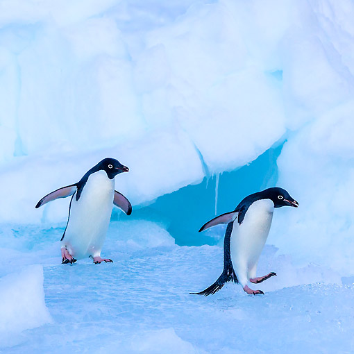 BRD 05 KH0362 01 © Kimball Stock Adelie Penguins Walking On Iceberg In Antarctica