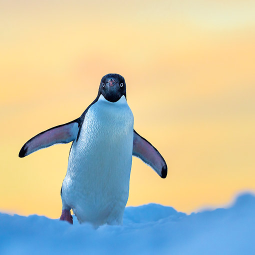 BRD 05 KH0363 01 © Kimball Stock Adelie Penguin Walking On Iceberg In Antarctica