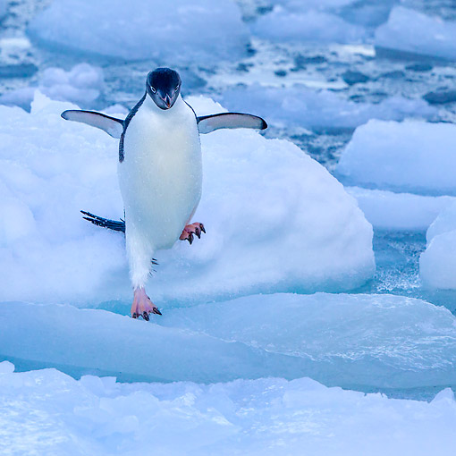 BRD 05 KH0364 01 © Kimball Stock Adelie Penguin Jumping On Iceberg In Antarctica