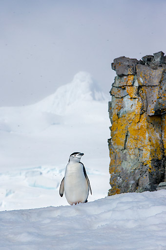 BRD 05 KH0368 01 © Kimball Stock Chinstrap Penguin Standing By Lichen Covered Rock In Anarctica