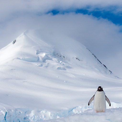 BRD 05 KH0372 01 © Kimball Stock Gentoo Penguin Standing In Snow At Base Of Hill, Antarctica