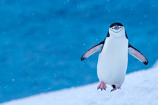 BRD 05 KH0374 01 © Kimball Stock Chinstrap Penguin Climbing To Rookery Under Light Snowfall