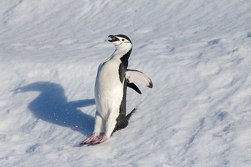 BRD 05 KH0375 01 © Kimball Stock Chinstrap Penguin Slipping While Carring A Stone To His Nest