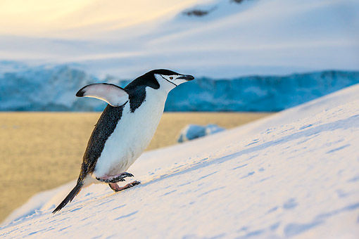 BRD 05 KH0378 01 © Kimball Stock Chinstrap Penguin Climbing Hill In Antarctica