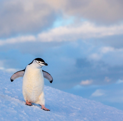 BRD 05 KH0379 01 © Kimball Stock Chinstrap Penguin Slipping Down Hill In Antarctica