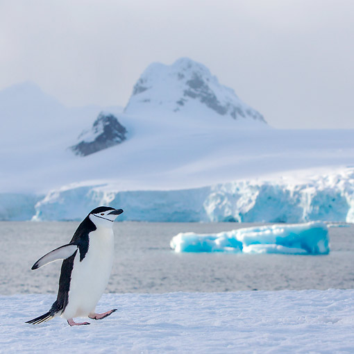 BRD 05 KH0383 01 © Kimball Stock Chinstrap Penguin Preening Walking In Antarctica