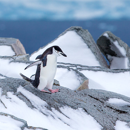 BRD 05 KH0384 01 © Kimball Stock Chinstrap Penguin Walking On Snow Covered Rocks In Antarctica