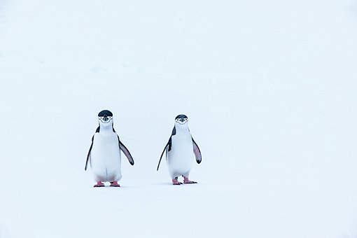 BRD 05 KH0385 01 © Kimball Stock Chinstrap Penguins Walking In Snow In Antarctica