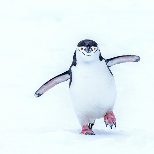 BRD 05 KH0386 01 © Kimball Stock Chinstrap Penguin Walking In Snow In Antarctica